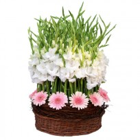 10 pink gerberas and 80 white gladiolus in basket
