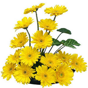 Basket of 15 Yellow fresh gerberas