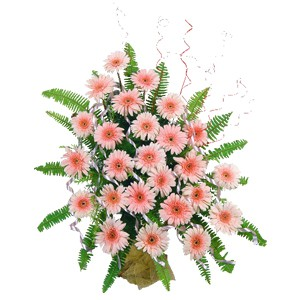 25 peach Gerberas in a basket, decorated with Ribbon